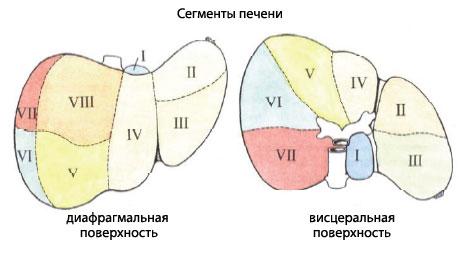 Печень схема человека